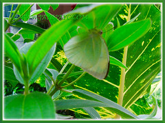 Catopsilia pomona pomona, sheltering beneath the Tibouchina leaf, Nov 19 2015