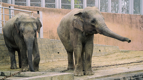 indian elephant pair