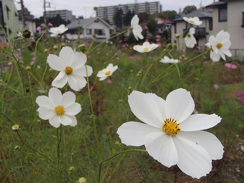 散步日本自己的家周边 - naniyuutorimannen - 您说什么!
