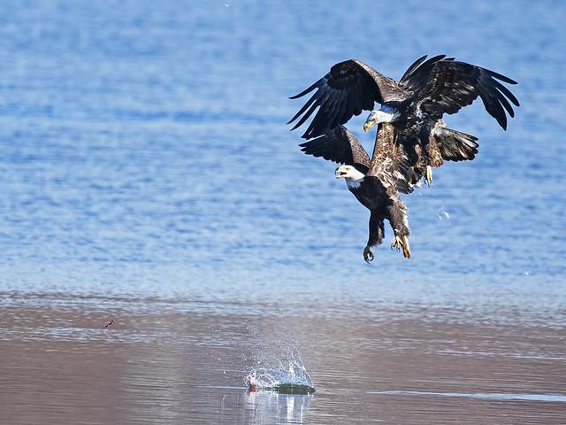 Bald Eagle Battle - Fish & Feathers Flying