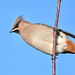 Waxwing by After-the-Rain