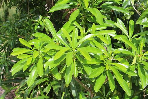 rota ochrosia ochrosiamariannensis apocynaceae