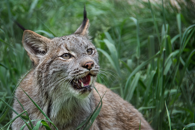 Big Cats - a gallery on Flickr