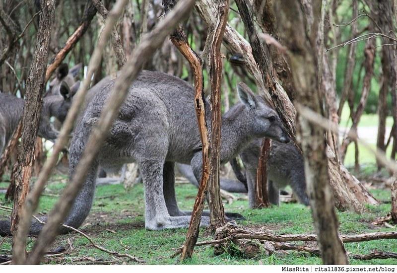 KKDAY 墨爾本自由行 melbourne gowesttours kkDAY墨爾本 墨爾本企鵝 澳洲自助 墨爾本自助 菲利浦島 菲利浦島交通 墨爾本必去 墨爾本酒莊 月光野生動物 Nobbies 墨爾本企鵝歸巢 墨爾本一日遊 菲利普島一日遊,小企鵝歸巢遊行54