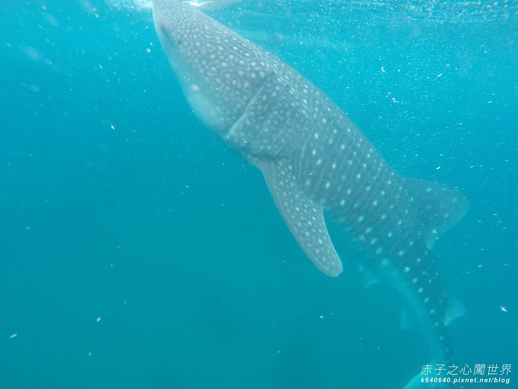 宿霧鯨鯊游泳-Oslob Whale Shark-079