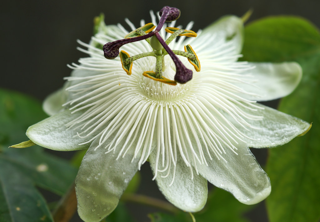 Passion Flower Constance Eliott There Are Over 400 Species Flickr