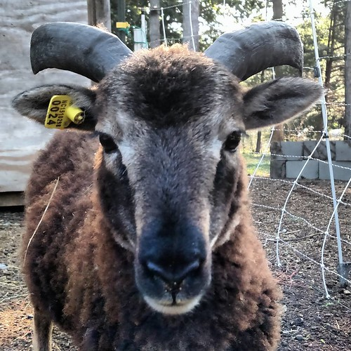 A small brown sheep with medium long curving black horns looks directly into the camera.