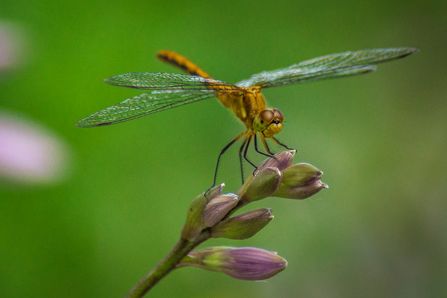 Dragon Fly, Insect, Flying, Damsel Fly, Macro, Garden