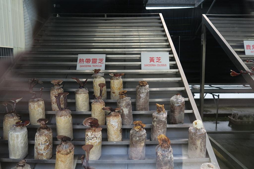 台南市白河區雙鶴靈芝農場 (21)