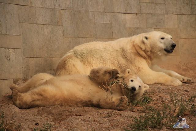 Eisbär Fiete im Zoo Rostock 06.09.2015  0343