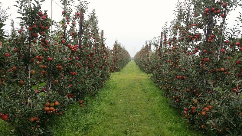 Kentish apples near Cobham #sh