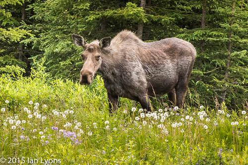 Moose, Clam Gulch, Kenai Peninsula, Alaska