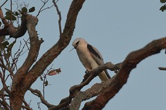 Black - shouldered Kite ( And its gone )