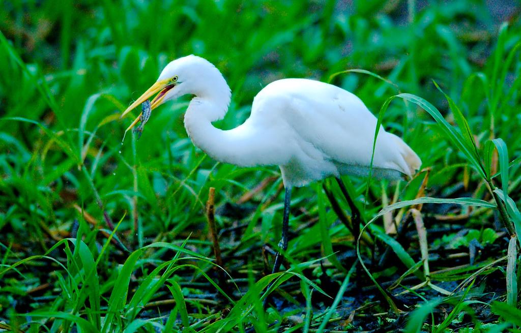 Great Egret (Ardea alba)_103
