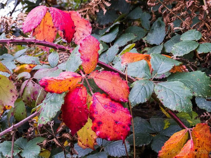 Colourful Blackberry Leaves