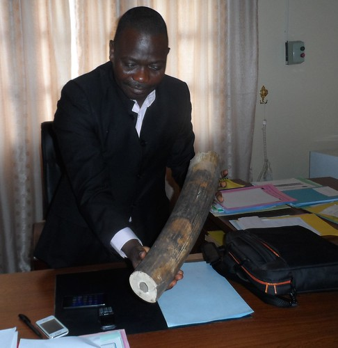 Minister of Environment for Orientale Province with confiscated ivory