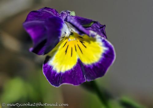 34/52 Garden Flower (Viola)