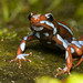 Blue and Red Poison Frog by antonsrkn
