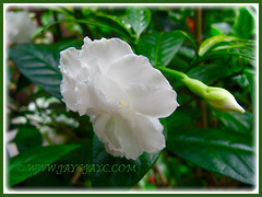 Our potted pure-white rose-like Crepe Gardenia at the inner bed, Nov 27 2015