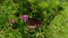 Butterfly on Flower Near Pune