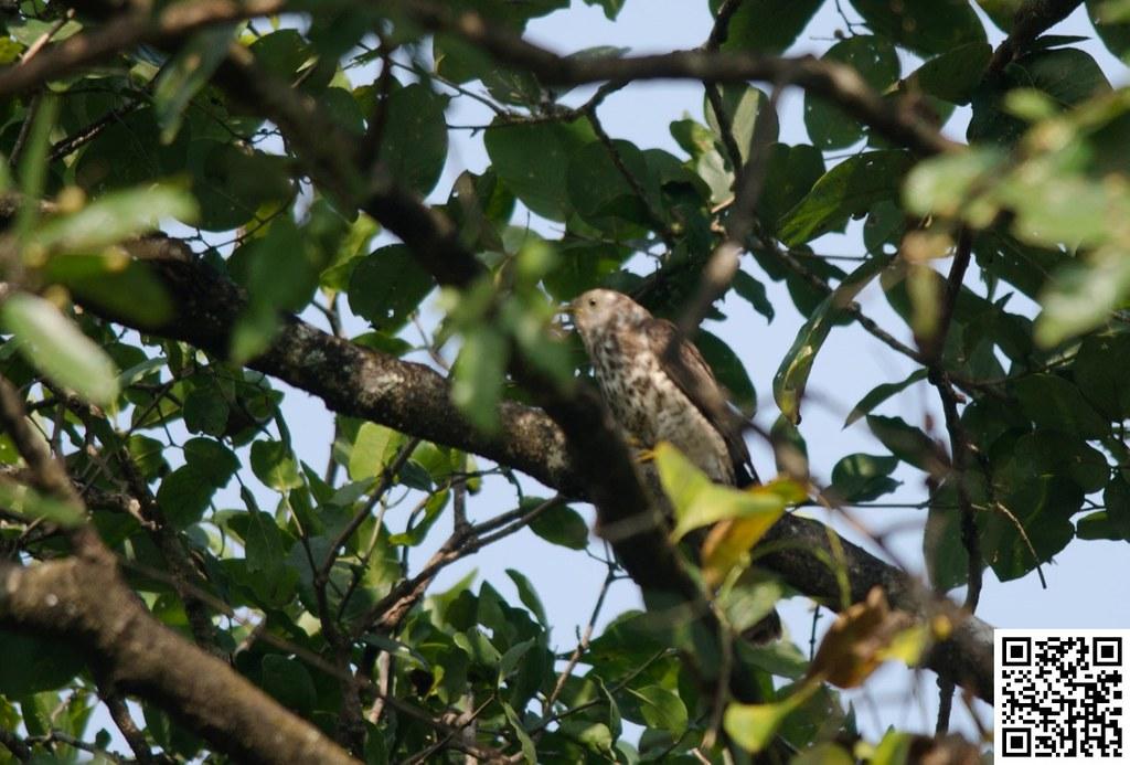 Common Hawk-Cuckoo [Cuco Chikra]