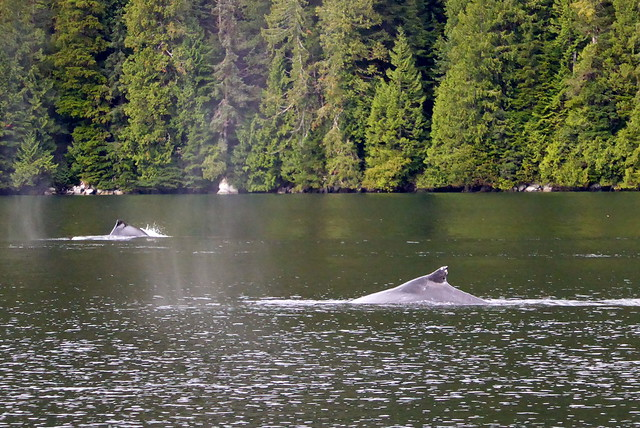 Bishop Bay humpbacks