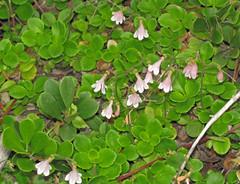 evergreen(0.0), shrub(0.0), arctostaphylos uva-ursi(0.0), food(0.0), coccoloba uvifera(0.0), bilberry(0.0), lingonberry(0.0), annual plant(1.0), flower(1.0), leaf(1.0), plant(1.0), common purslane(1.0), herb(1.0), flora(1.0), produce(1.0), groundcover(1.0),