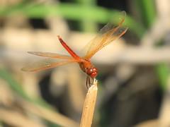 Golden-winged Skimmer (male) 8-15-15, John Bunker Sands Wetland Center, Seagoville Texas