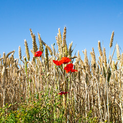 Poppies by wheat field, Bearpark