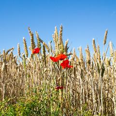 Poppies by wheat field, Bearpark