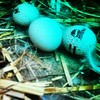 #fresh #chicken #eggs in the #middle of a #wild #open #habitat #ecosystem #holistic #farming #life