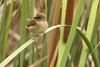 Scaly-breasted Munia (Lomchura punctulata) 1 083115 by evimeyer