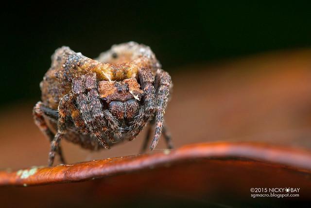 Roly poly orb weaver (Xylethrus scrupeus) - DSC_4002