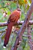 Squirrel Cuckoo (Piaya cayana) by Rodrigo Conte