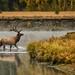 Bull Elk Crossing Oxbow by Jeff Clow
