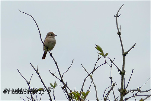 Isabelline (Daurian) Shrike
