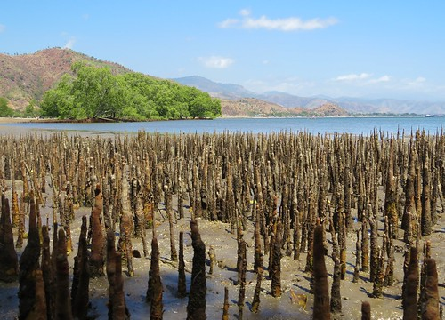 travel plant beach composition landscape asian bay coast asia southeastasia view mud scene coastal mangrove wetlands mangroves botany timor atmospheric stalks ecosystem easttimor dili timorleste