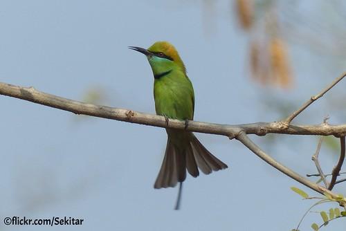 colour bird nature bee bangladesh bangla eater desh southasia bienenfresser srimongol bangladesch earthasia sreemangal