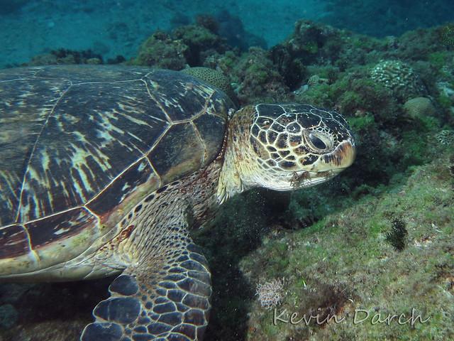 Green Turtle munching on seaweed