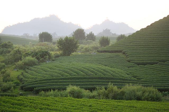 Taiwanese tea plantation - Moc Chau