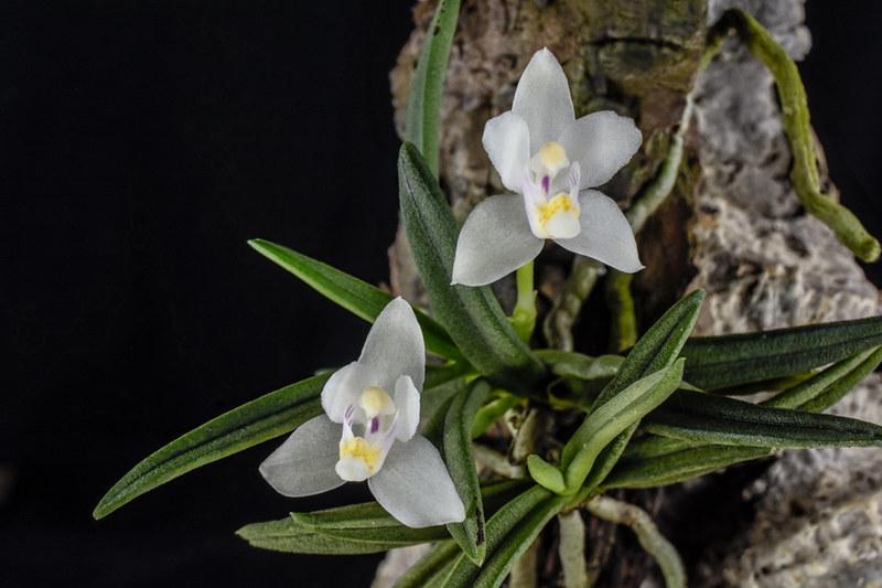Miniatur-Orchideen 2. Teil - Seite 22 23044566563_44fffb557c_c