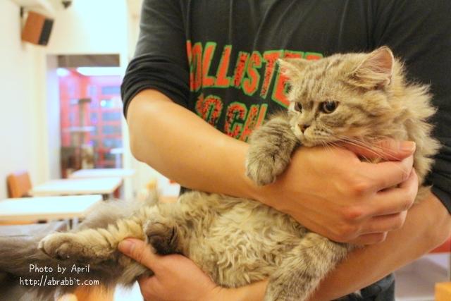 [台中]貓爸貓咪主題餐廳–超多貓咪,貓奴們不能錯過,每隻貓都好溫馴喔!@西區 精美街