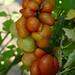 Reisetomate  - Solanum lycopersicum L.