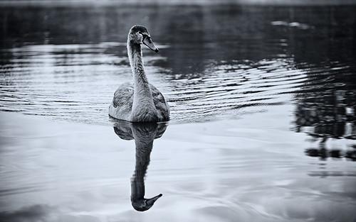 Der Schwan fragt, wie ich ohne langen Hals in den Spiegel sehen will und dann liege ich auch schon im Wasser.
