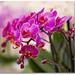 Orchids by MadonnaJ