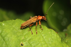 Cantharis rufa (Common Red Soldier Beetle) - Guernsey