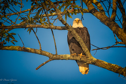 virginia bird eagle fall jamesriver sunrise wildlife richmond unitedstates us