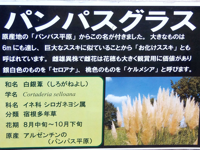 Photo:#9398 pampas grass (パンパスグラス, シロガネヨシ) By Nemo's great uncle