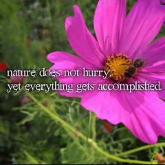 annual plant, flower, garden cosmos, plant, gerbera, flora, cosmos, pink, petal,