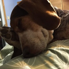 Some mornings it's just so hard to wake up! #beaglelove #nationaldogday #fryed365